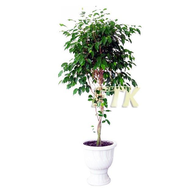 Benjamin Plant