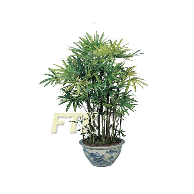 Rhapis palm Bamboo Premium